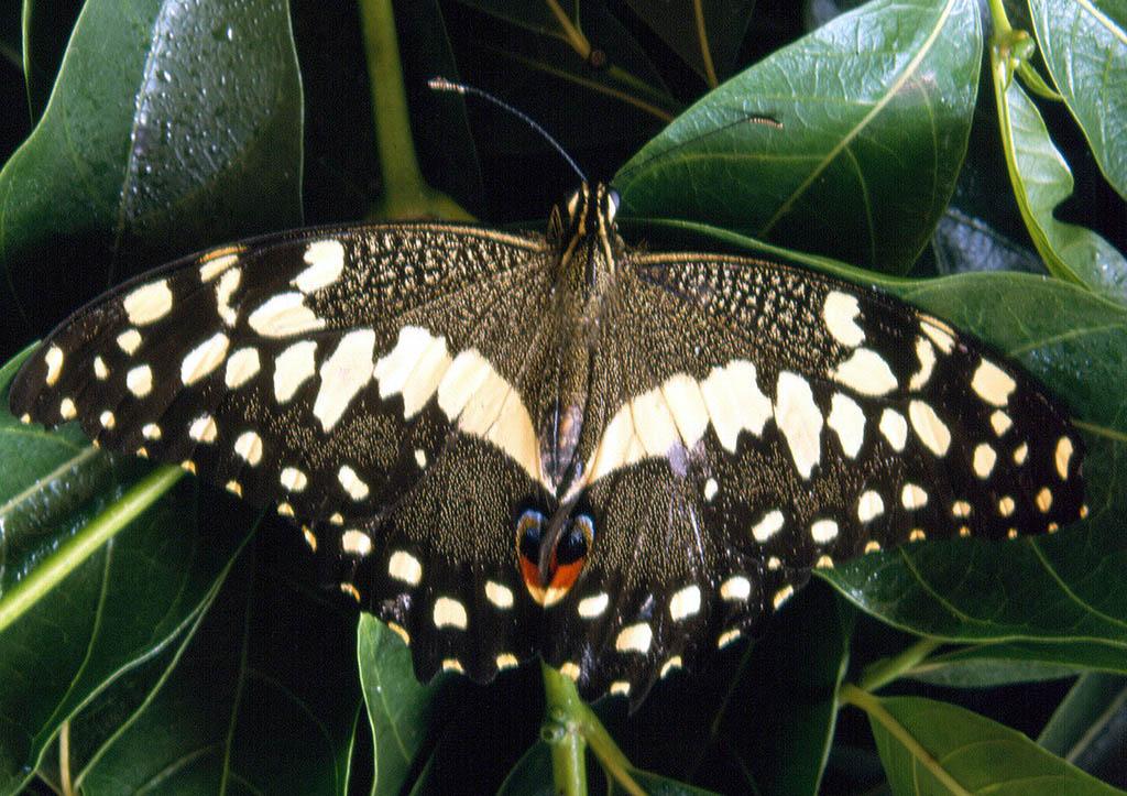bobiri-butterfly